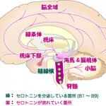 脳幹を活性化させる習慣